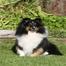 Ashley's Sheltie Puppies born 9/18/2010