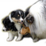 Special Princess Shelties & Chinese Cresteds