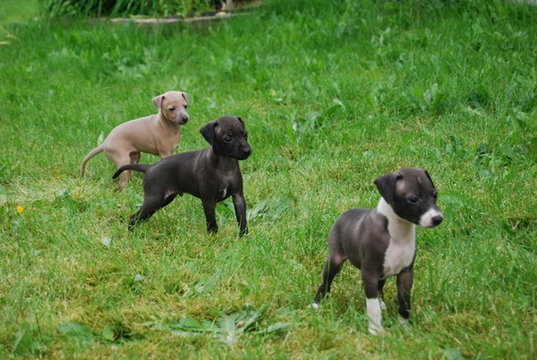 USTREAM: Marsic Spy Cam: Check out the latest from Marsic Italian Greyhounds. 犬