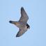 UdeM Peregrine Falcons - Nestbox CAM