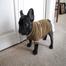 basil the french bulldog