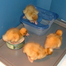 Gillian's baby ducks