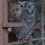 Fort Worth TX Screech Owl Cam
