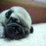 cloe's pug puppies