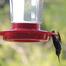 Ruby-throated Hummingbirds Feeding Live, TX