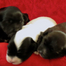 Meritage Havanese of SOCAL - puppies