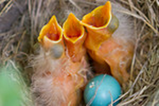 Bird egg hatching