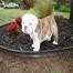 Beautiful Bulldogs Puppy Cam