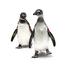 African Penguins, Biologist Cam