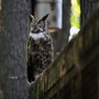 Ms. Harvey the Great Horned Owl