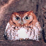 Decorah Screech Owls