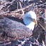 Baby Eaglet #1