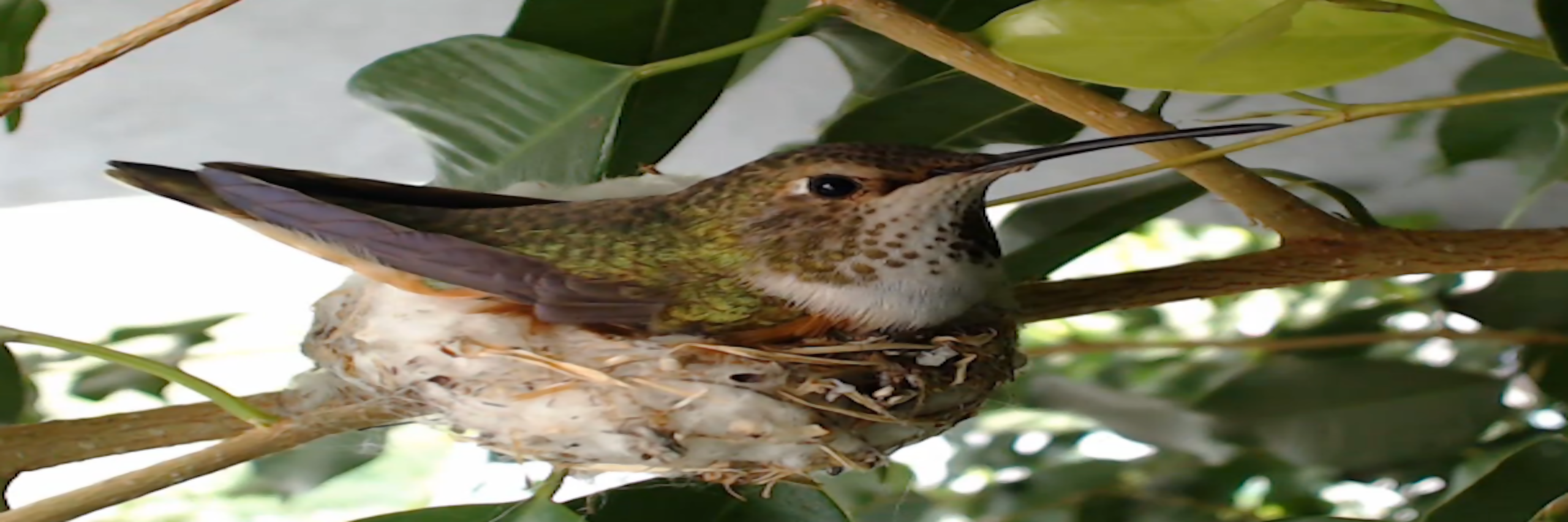 Bella Hummingbird's Nest Webcam