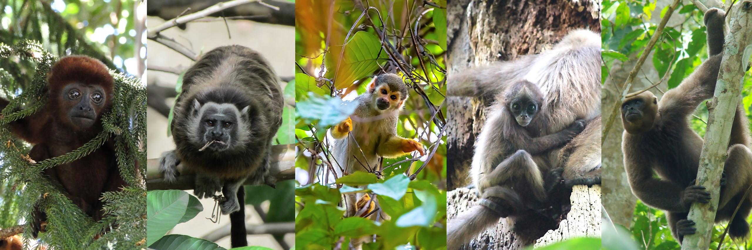 Primates APC