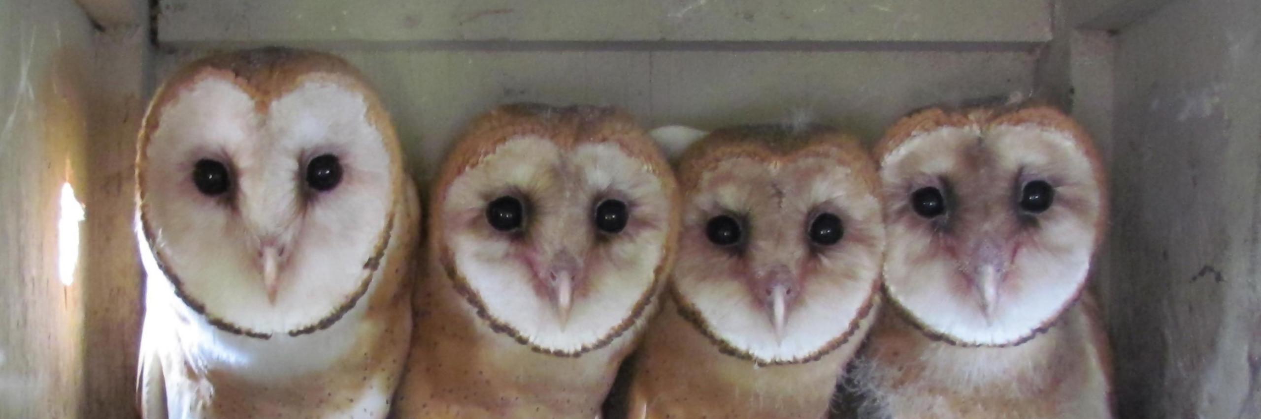 Barn Owl Taking Off Owl Channel