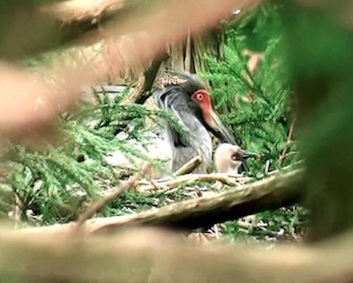 Nearly extinct Japanese Crested Ibis Cam