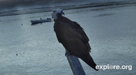 Watch Osprey Cam streaming