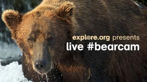 갈색곰의 연어 사냥 : 알래스카 국립공원