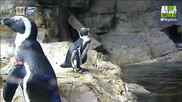 APL!VE African Penguins