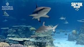 흑기흉상어 LIVE - 발티모어 국립 수족관