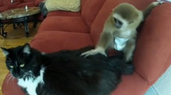Baby gibbon and her pet cat