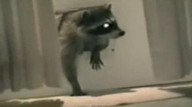 Raccoon pulls rug out from under family
