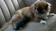 Dog nurses orphan kitten