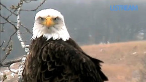 The Decorah Eagle Cam