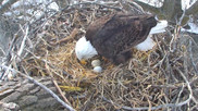  MN Eagle Cam in HD