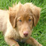Duck Toller puppies 9 days old