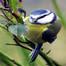 BlueTit flying out of nest-Kjøttmeis-Smørblomstveg