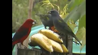 Brazilian, Golden-chevroned &amp; Ruby-crowned #birdsfrombrazil