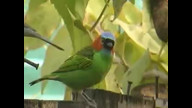 Red-necked Tanager - Saira-militar