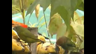 Black-backed &amp; Chestnut-backed Tanagers #birdsfrombrazil