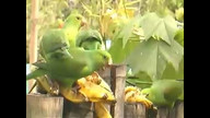 A bunch of Parakeets