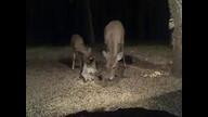 5 deer 2:18 am