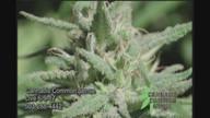 Cannabis Common Sense 891
