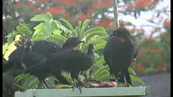 Family of Dusky-legged Guans