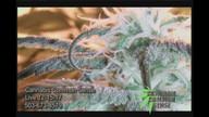 Cannabis Common Sense 917