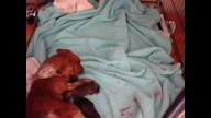 Dachshund puppies being born 02/20/11 09:29AM