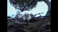 Nextera Maine eaglecam : March 25, 2011_1830