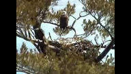 Nextera Maine Eagle cam1: April 2, 2011, 1105