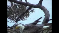 Nextere Maine EagleCam: April 4, 2011