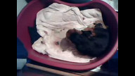 Dachshund puppies being born 05/07/11 01:21AM