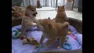 Puptastic playtime with the Shibas!
