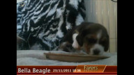 Bella Beagle at Num Num Time - Day 26