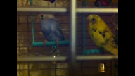 Budgie breeding box (Acoopr) recorded live on 21/03/2012 at 23:48 GMT