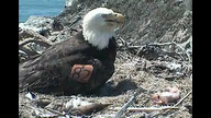 Two Harbors Bald Eagle Nest Cam 4/4/12 09:41PM PST