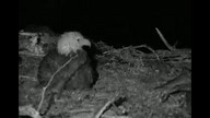 Two Harbors Bald Eagle Nest Cam 4/8/12 06:44AM PST