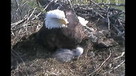 YouTube video thumbnail of bald eagle video